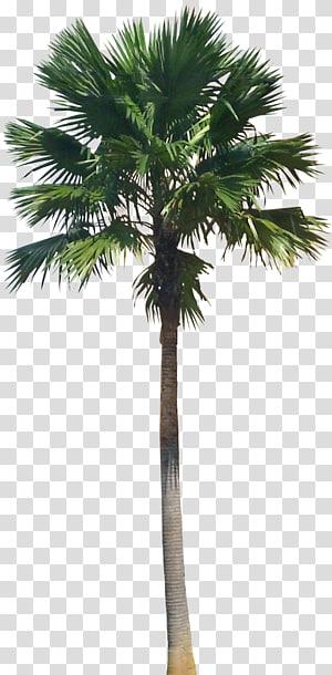 green tree , Saribus rotundifolius Arecaceae Livistona Plant, palm tree PNG clipart