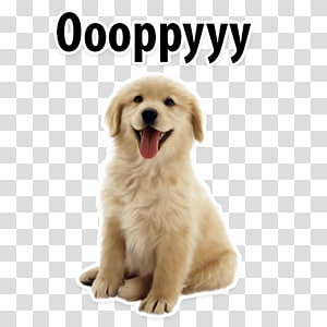 Cat Shih Tzu Puppy Border Collie Pet sitting, Cat PNG