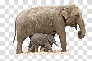 African bush elephant Asian elephant , elephant PNG