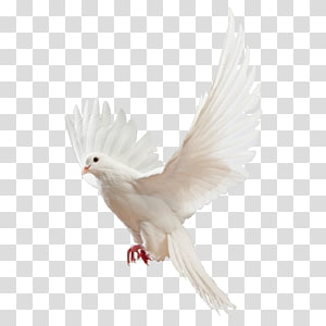 pigeon pigeon material PNG clipart
