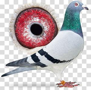 Columbidae Racing Homer Homing pigeon Pigeon racing Pigeon keeping, Sangers Pigeons Bv PNG clipart