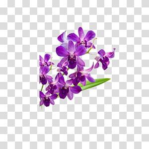 Violet Moth orchids Flower Petal, others PNG clipart