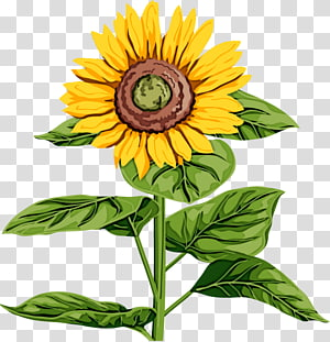 Common sunflower Plant stem Leaf Sunflower seed, Leaf PNG clipart