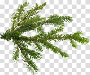 Pine Christmas tree Branch, christmas tree PNG clipart