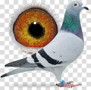 Columbidae Racing Homer Bird Pigeon racing Beak, Bird PNG clipart