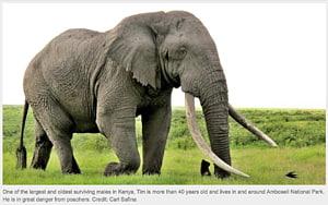 African bush elephant The Elephant Sanctuary Sumatran elephant Poaching, elephants PNG