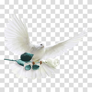 pigeon PNG clipart