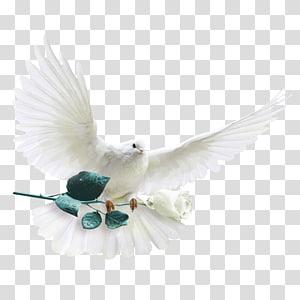 Rock dove Columbidae White-headed pigeon Die silberne Taube Garden roses, pigeon PNG