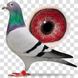 Columbidae Racing Homer Bird Homing pigeon Pigeon racing, Bird PNG clipart