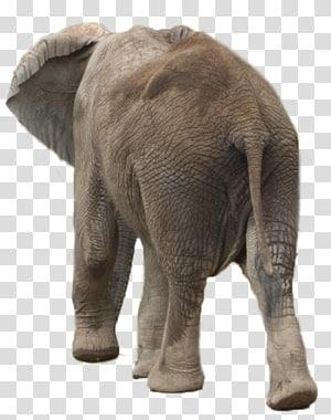 African elephant Asian elephant, Elephant PNG