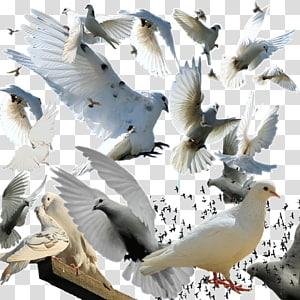 Bird Columba , pigeon PNG