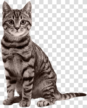 gray tabby cat illustration, Cat Kitten Black panther Felidae, Cat PNG
