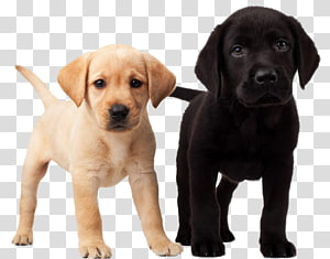Labrador Retriever Puppy Dalmatian dog Golden Retriever, Labrador Dog PNG