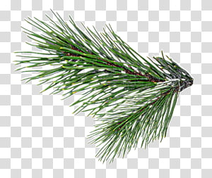 christmas tree branches PNG