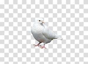 Columbidae Bird Columba White, pigeon PNG