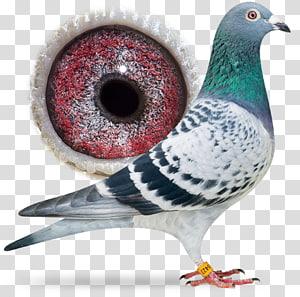 Racing Homer Columbidae Homing pigeon Bird Pigeon racing, Bird PNG clipart