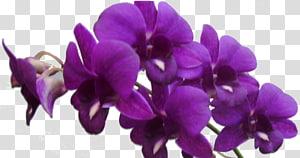 Violet Flower Purple Lilac, violet PNG