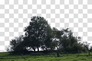 Populus alba Tree Grove Digital , big tree PNG clipart