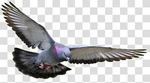 Homing pigeon Racing Homer Columbidae Fancy pigeon Bird, Bird PNG
