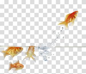 Goldfish Feeder fish Paper, goldfish PNG clipart