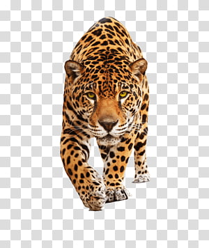 leopard art, Leopard Front PNG clipart