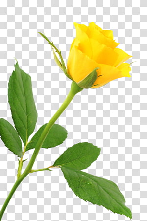 a yellow rose PNG