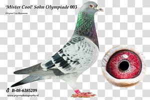 Racing Homer Homing pigeon Columbidae Pigeon racing Bird, Bird PNG clipart