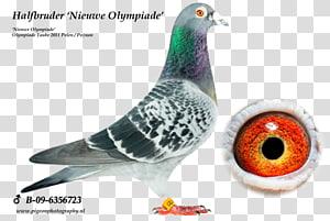 Homing pigeon Racing Homer Columbidae Pigeon racing Belgium, racing pigeon PNG clipart