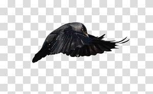 Beak Feather Crow, feather PNG