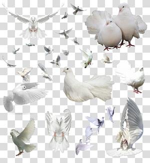 Columbidae Bird Rock dove Flight, DOVE PNG