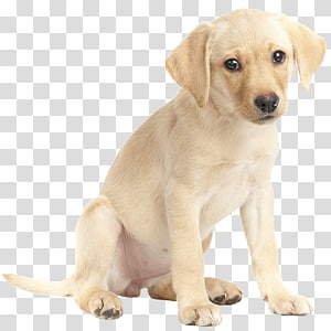 Labrador Retriever Golden Retriever Puppy German Shepherd White Shepherd, golden retriever PNG clipart