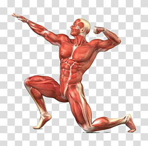 man with muscle illustration, Muscular system Skeletal muscle Human body Human skeleton, human body PNG clipart
