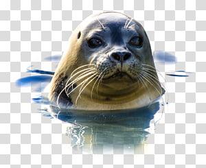 Earless seal Walrus Sea lion, walrus PNG