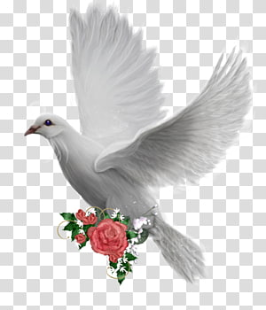 Columbidae Bird Domestic pigeon , Bird PNG