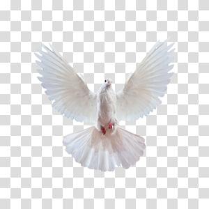 Domestic pigeon Columbidae Release dove Squab dove, dove PNG