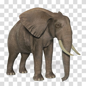 African bush elephant African forest elephant Asian elephant, Elephant PNG