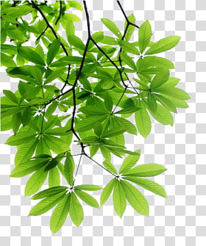 green leafed tree, Leaf Branch Tree , tree PNG clipart
