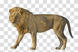 East African lion Portable Network Graphics Cat , Cat PNG clipart