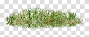 Lawn Grass , dry PNG