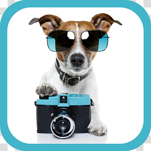 Jack Russell Terrier Pet sitting Puppy , dogs PNG