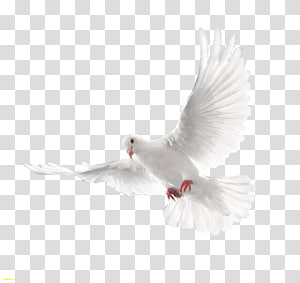 Homing pigeon Release dove Bird, carrier pigeon PNG