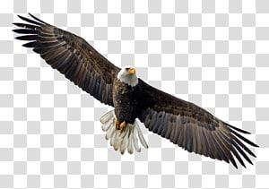 Bald Eagle Flight Bird, eagle PNG