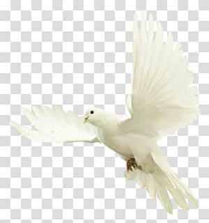white dove spreading its wings, Dove PNG