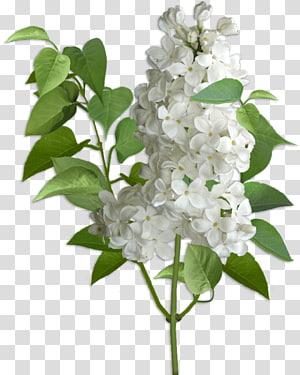 Lilac Hydrangea Cut flowers Violet, lilac PNG