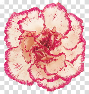 Carnation Pink Cut flowers , others PNG