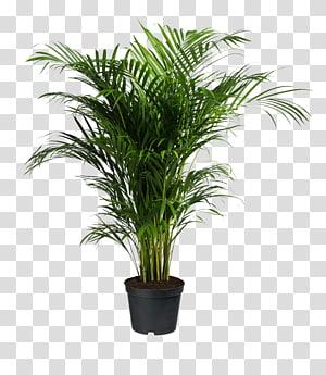 Howea forsteriana Ravenea Areca palm Houseplant, potted plants, green leafed plant PNG clipart