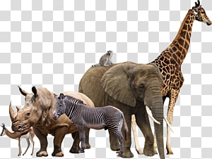 elephant, giraffe, zebra, and rhinoceros, Africam Safari Maasai Mara Rhinoceros African elephant, ANIMAl PNG
