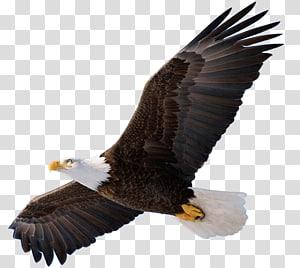 Bald Eagle Bird of prey , eagle PNG