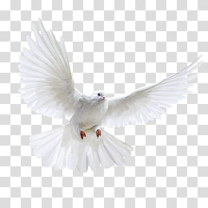 pigeon,dove PNG clipart
