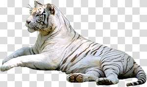 White tiger Leopard Siberian Tiger, tiger creative PNG